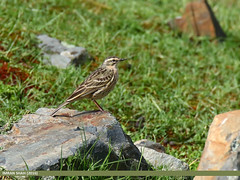 Rosy Pipit (Anthus roseatus) (gilgit2) Tags: pakistan birds fauna canon geotagged wings wildlife feathers tags location species tamron category avifauna gilgit naltar anthusroseatus rosypipitanthusroseatus gilgitbaltistan imranshah canoneos7dmarkii tamronsp150600mmf563divcusd gilgit2