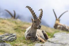 Stambecco 2016 (Gau70) Tags: park wild italy nature animal torino alpine national gran fotografia turin montagna montain paradiso ibex granparadiso stambecco wildphotography