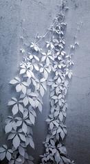 DSC_3774s (An Xiao) Tags: arboretum bonsai penjing