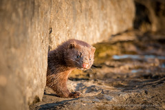 Mink Kit 1 (BradleyPSmithPhotography) Tags: 2016 fhbsp beach camping fairhaven fairhavenbeachstatepark june lake lakeontario longexposure ny park statepark sunset water mink kit animal baby wildlife