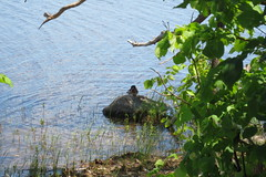 A wood duck enjoying the shade (ryerson.diane) Tags: river ottawa