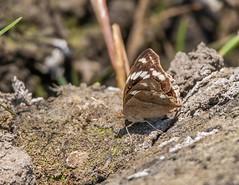 PGC_7877-20150917 (C&P_Pics) Tags: butterfly western zambia insectsandspiders zambiatonamibia