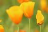 Poppy Fantasies 4 (gripspix (OFF)) Tags: 20160605 nature natur plant pflanze blüte blossom poppy mohn goldmohn californianpoppy escholziacalifornica