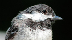 Big Bird (blazer8696) Tags: 2016 brookfield ct connecticut ecw obtusehill t2016 usa unitedstates atricapillus black capped chickadee img8803 paridae passeriformes poecile poecileatricapillus