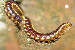 Millipede (najmul13) Tags: house macro bug insect pattern control outdoor insects bite vs organic macros centipede millipede poisonous infestation facts