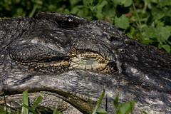 National Zoo  (1283) Alligator (smata2) Tags: zoo gator reptile alligator nationscapital smithsoniannationalzoo itsazoooutthere zoosofnorthamerica