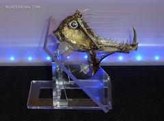 Viperfish head stuffed. Marine taxidermy. Real monster. (Fran Martn de la Sierra) Tags: head marine taxidermy real monster jaw tooth teeth taxidermia cabeza monstruo marino pez abisal abyssal fish bizarro disecado