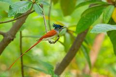 Singing Beauty ( Asian paradise flycatcher ) (Irtiza Bukhari) Tags: pakistan bird birds canon asian one paradise wildlife images flycatcher bukhari wildbird irtiza eos70d irtizabukhari