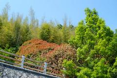 (Yorozuna / ) Tags: color tree green japan     shiga omihachiman        hachimanyama   pentaxsupertakumar28mmf35 hachimanmountain mthachiman mthachimanyama