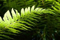 Fern (MrSimonWood) Tags: ferns pembrokeshire goultrop