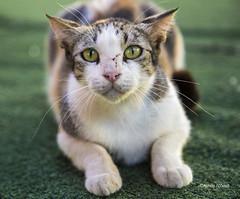 fighting cat (Achille Abboud) Tags: street garden israel fight palestine haifa scratch