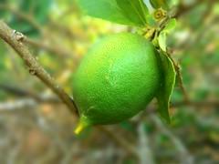 P_20160118_084743_DF (ba8tian) Tags: fruit citrus lime