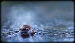 Mr. Sammy!! (dreamdust2022) Tags: nature little snail brave slimy