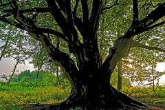 Buche am Fischteich - 2016 - 0004_Web (berni.radke) Tags: tree giant baum beech buche colossus riese fischteich dlmen hausdlmen