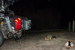 20160411-2ADU-008 Possum Kangaroo Island