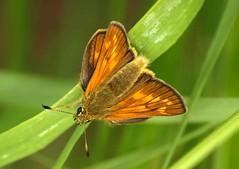 Skipper butterfly 3430 (saxonfenken) Tags: pregamewinner 6811but 6811 skipper upsidedown shallow dof