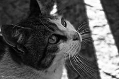 2079  El Bigotes (Ricard Gabarrs) Tags: blanco fauna zoo y negro gatos olympus gato felinos felino animales aninal ricgaba ricardgabarrus