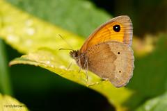 Meadow Brown (ABPhotosUK) Tags: macro animals canon garden wildlife butterflies lepidoptera devon nocrop dartmoor teleconverter meadowbrown invertebrates nymphalidae maniolajurtina ef14xextenderiii eos7dmarkii ef100400mmisii