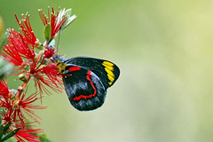 Black Jezebel (aussiegypsy_back_catching up) Tags: road red wild black color colour animal yellow butterfly insect wings colorful closed view bright feeding outdoor dam wildlife side profile australian australia lepidoptera exotic tropical nectar bottlebrush feed colourful jezebel aussie common eastern farnorth sipping animalia callistemon fnq delias athertontablelands pieridae pierinae deliasnigrina laketinaroo danbulla danbularoad tnqtropics
