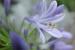 20160616-R0043437 (nut_cookie) Tags: flowers closeup agapanthus macrophotography