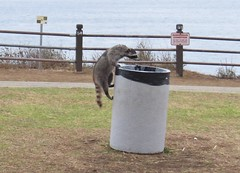 raccoons impressive trash climbing skills-point vicente (gskipperii) Tags: animal fauna trash mammal losangeles cool day wildlife fat raccoon southerncalifornia sneakey pv palosverdes scavenging opportunist pointvicente opportunistic
