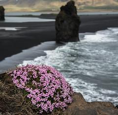 Campion and sea stack (Bill Bowman) Tags: iceland vik sland mosscampion blacksandbeach sileneacaulis
