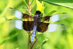 widow skimmer male near Lime Springs IA 854A0991 (lreis_naturalist) Tags: county male dragonfly howard reis iowa larry springs lime widow skimmer