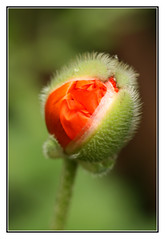 I'm on my Way (Audrey A Jackson) Tags: flower colour macro nature closeup garden poppy bud canon450