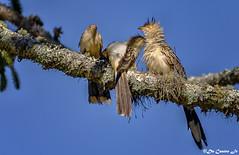 Guira Cuckoo (Anu branco) (AlaskaGM) Tags: cuckoo bird insectivore yelloweye guiraguira stripedbird crested rainforestbird avian colourfulbird omnivore southamericanbird