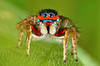 Colorful jumping Spider (karthik Nature photography) Tags: color macro nature animals closeup forest garden photography spider spiders wildlife jumpingspider macrophotography salticidae macroworld animalworld spiderworld canonmt24ex insectphotography canonmpe65 macrolife malejumpingspider canon5dmark3 colorfuljumpingspider beautifuljumpingspider jumpingspidersinindia wwwkarthikeyanscom