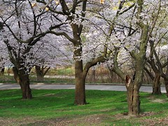 High Park, Toronto, Cherry Blossoms (Lauriethomson) Tags: highpark meetup photographers cherryblossoms bloor 2013