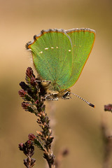 Green Hairstreak (Andy & Helen :-) :)) Tags: uk butterfly heather heathland cannockchase greenhairstreak callophrysrubi