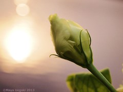 For You (mayauxo) Tags: lighting flowers light sunset flower reflection green love nature water colors st river lights bokeh romance romantic buds bud pure foryou magichour flowerbud contracolorful