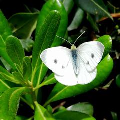 ...bianca... (rebranca46) Tags: macro verde nature 1001nights bianco farfalla pitosforo rebranca 1001nightsmagiccity italy2013