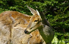 Foto retrato al Huemul (Moises Peralta Navia) Tags: chile beautiful animal retrato colores vida esperanza portrail bello surdechile firme fuerza extincin huemul