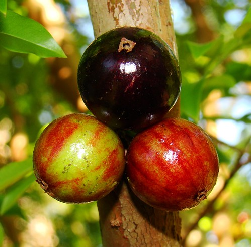 Jaboticaba  #8: FRUITS