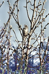 Sing! ~ HSS! (NancyArmstrongThomson ~ back soon) Tags: tree nature sunshine manipulated photo spring singing bluesky created sing blender buds peartree songsparrow hss sliderssunday snapseed