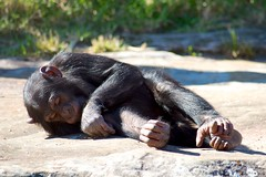 Bored Chimpanzee (Gordon Williams) Tags: zoo chimpanzee taronga