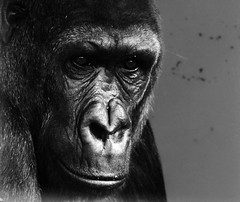Gorilla (Alice Dickson Photography) Tags: shadow zoo monkey gorilla great caged ape enclosure