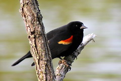 Red Winged Blackbird Male (Piedmont Fossil) Tags: bird wildlife maryland easternshore salisbury redwingedblackbird agelaiusphoeniceus