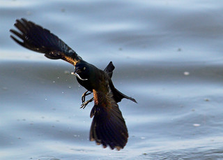Common Grackle Catching Fish