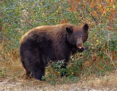 Black Bear in Sequoia (Starkrusher) Tags: california bear sequoia brownbear sequoiapark