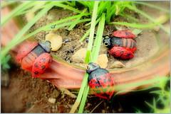 lady birds (Rhichita Ray) Tags: red india june insect craft ladybird dots afterrain flicker rimi iitkharagpur kharagpur threefriends craftforkids threeladybirds rhichitaray medinipurartcollage wallnutart artbyrhichita artbyrimi dreamyrimi mrsladybirds