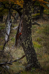 piedra libre! (FJTUrban (sommelier d mojitos)) Tags: patagonia santacruz bird argentina animal ruta fauna woodpecker woody ave cousin 40 pjaro carpintero campephilus magellanicus elchaltn rn40 magallnico