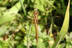 Keeled Skimmer (former-extog) Tags: dragonfly wfc bridgend tondu 2013 keeledskimmer orthetrumcoerulescens penybontarogwr unature welshflickrcymru bbcwalesnature parcslip bymikemccarthy canonef100mmf28lmacroisusm ©mikemccarthy