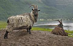 Wild Goats (birchwood t) Tags: nature animals scotland countryside wildlife goats wildanimals dornie scottishhighlands invernesshire wildgoats rosshire