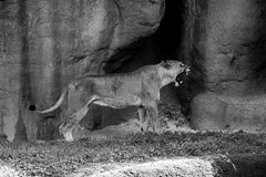 Lion (PhatNeckJit) Tags: africa bear bw cat zoo miami tiger lion anger