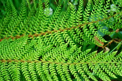 Ferns (zwanzig) Tags: green ferns