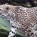 Cheetah 01-07-08 41