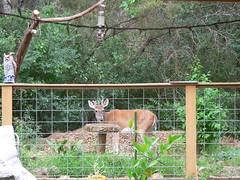Thirsty deer (TWDB) Tags: hillcountry